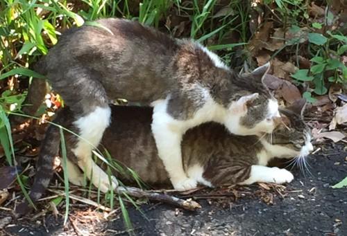 ネコ 交尾 セックス